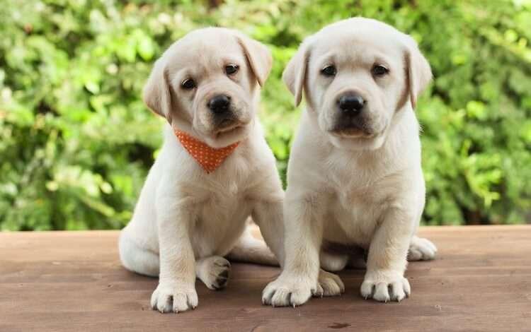 Labrador-Puppy-Sitting